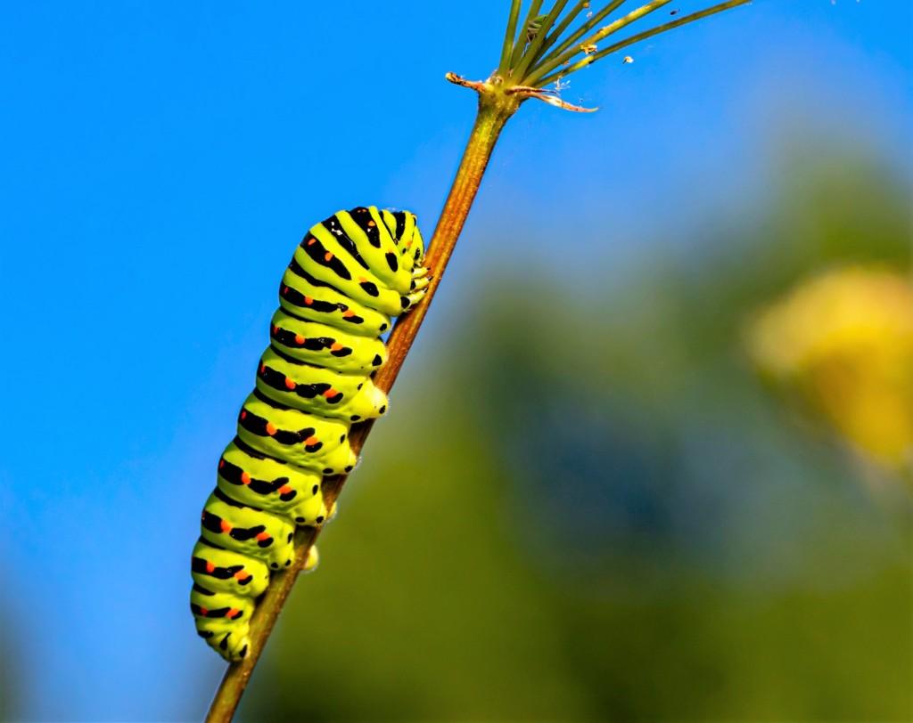 Papilio machaon,kiageha