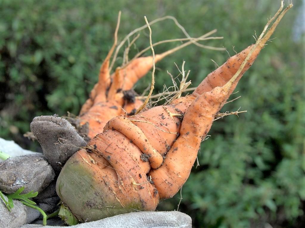 carrot-19,nekobusenchu
