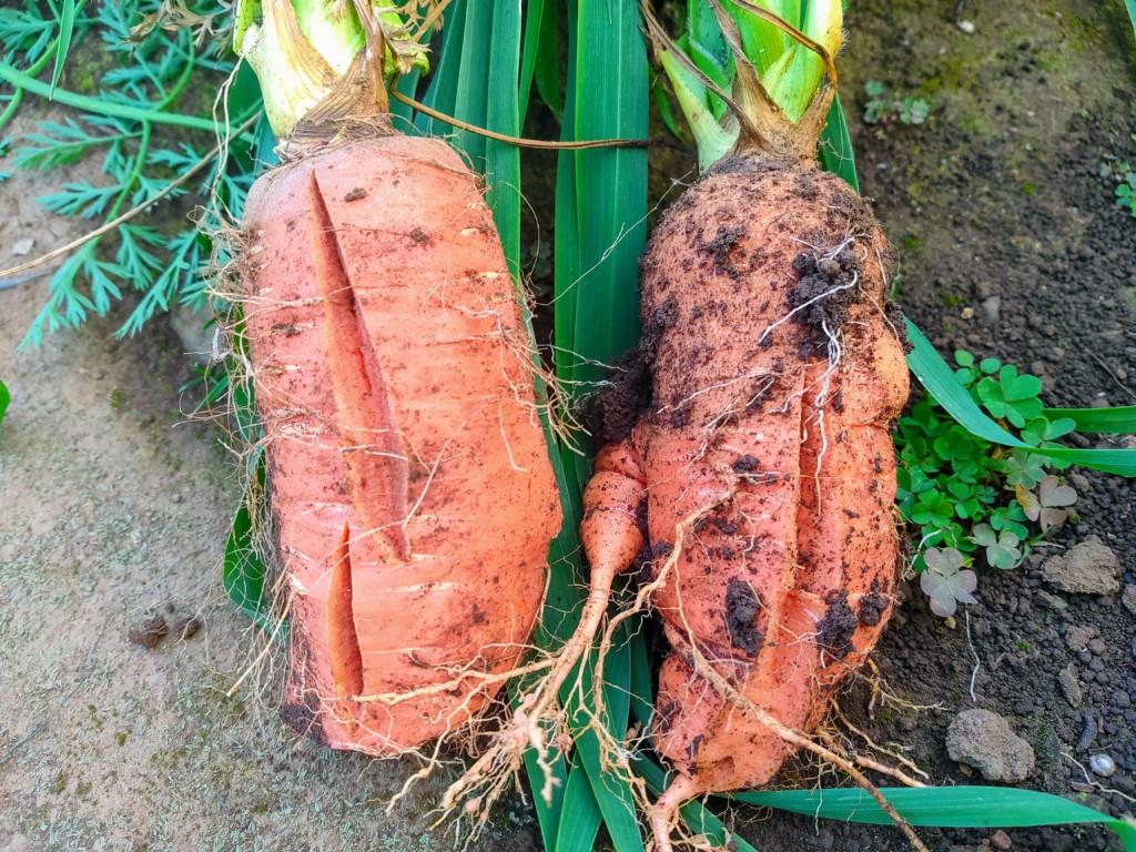 carrot-20201122