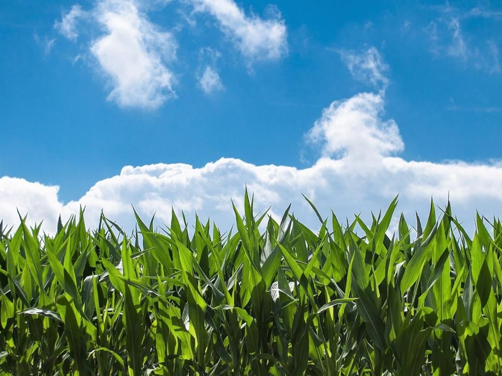 corn-field,hatake