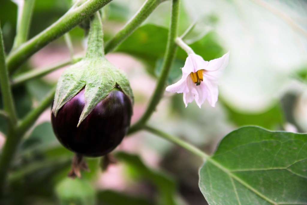 eggplant,nasu-100