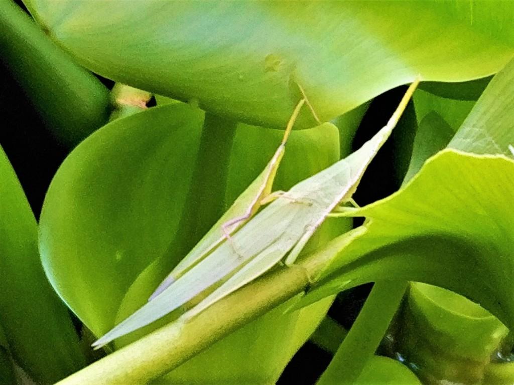 grasshopper,BATTA,LOCUST-2