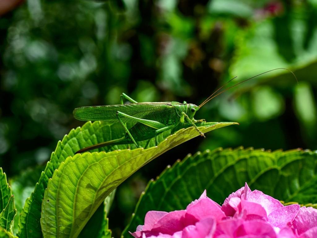 grasshopper,BATTA,LOCUST