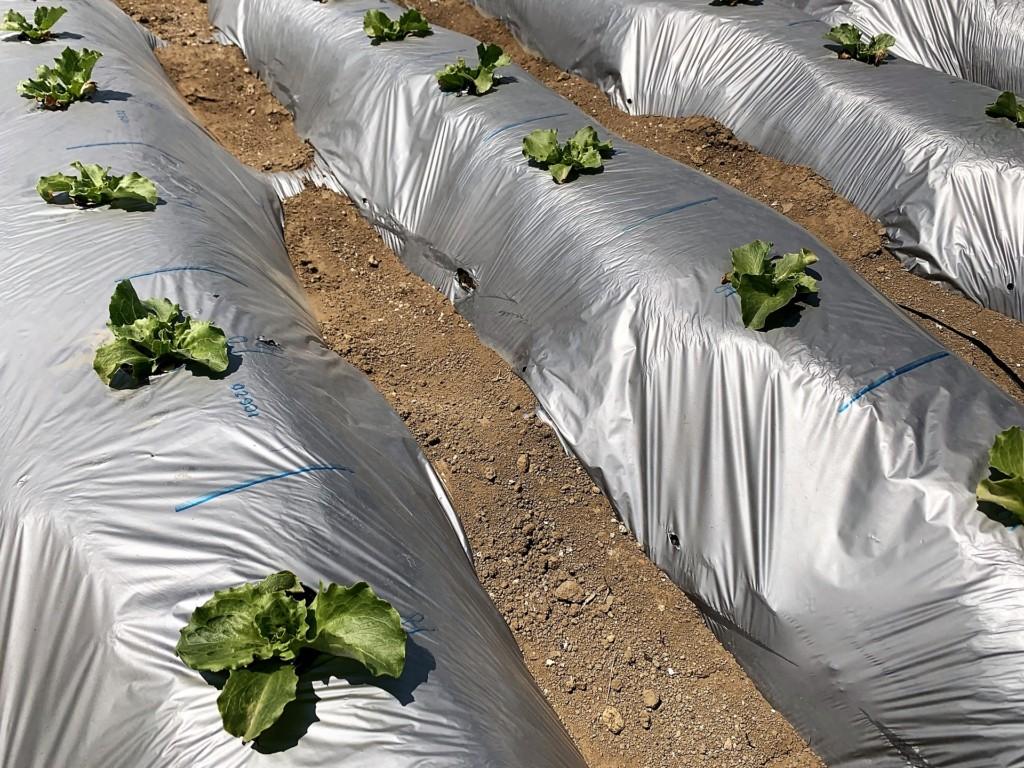 lettuce,multi