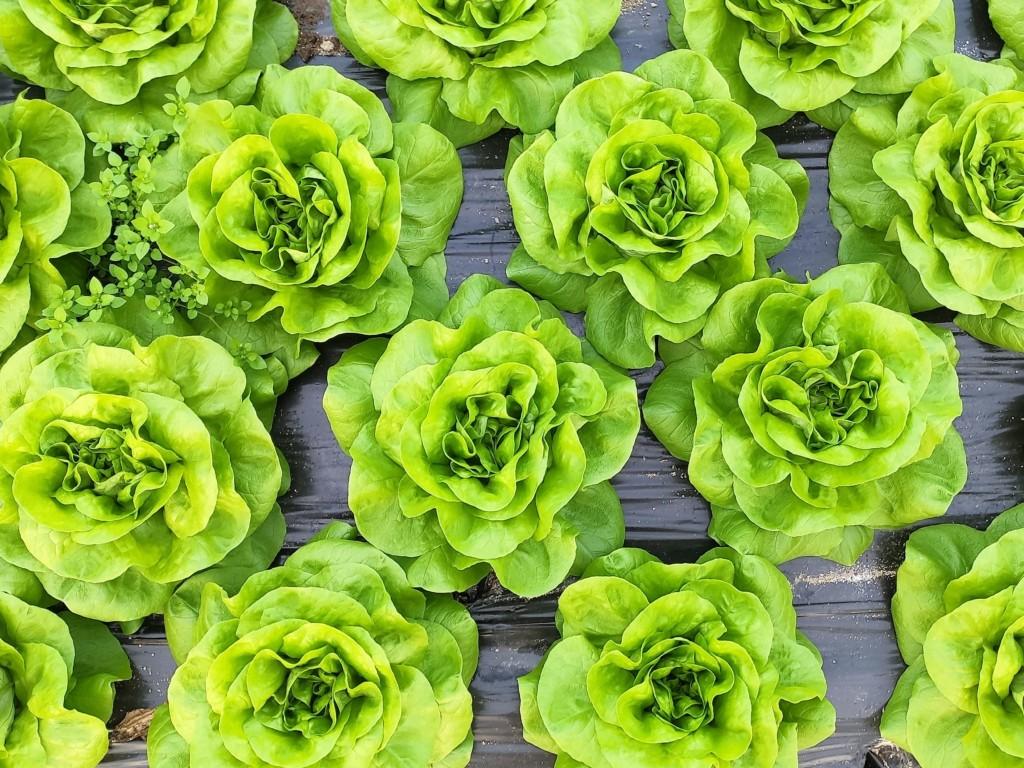 lettuce-103