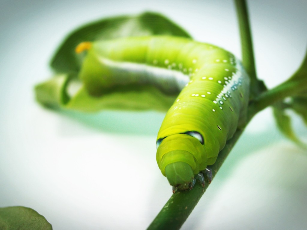 Green worm,tabakoga,tabaccomoth