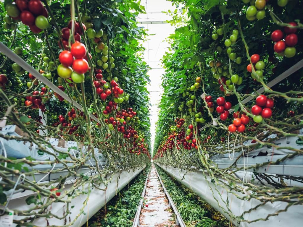 tomatoes-18