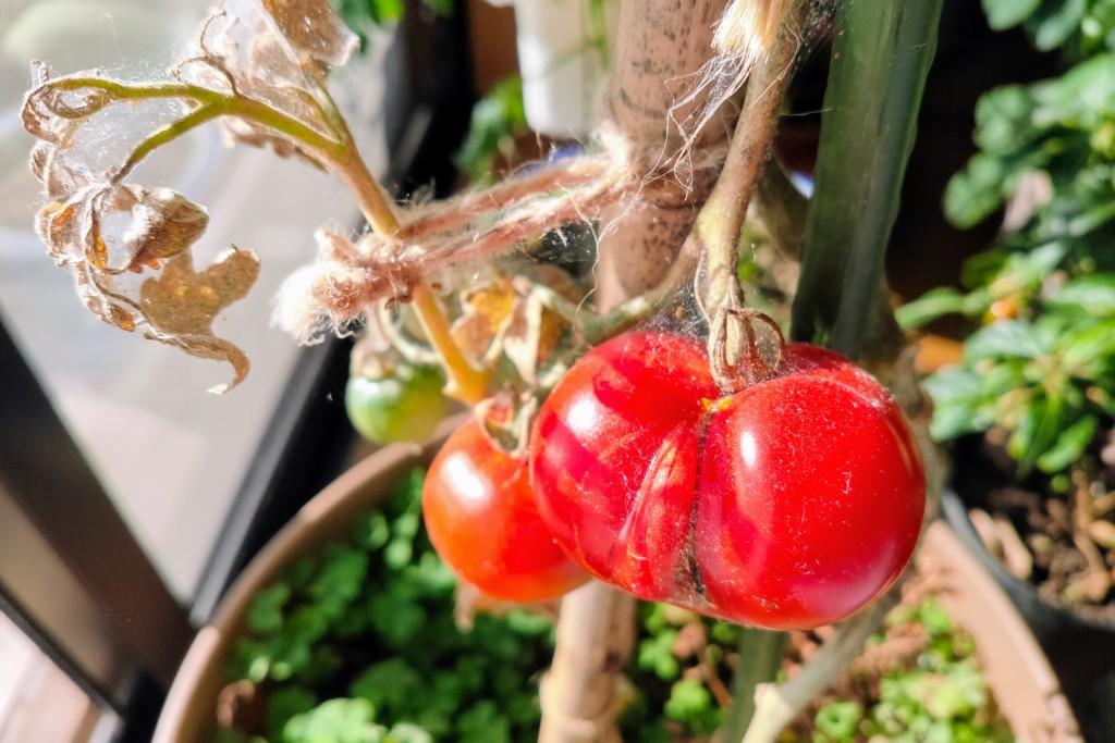 tomato,20201220
