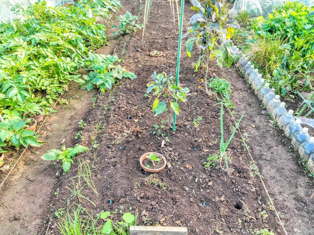 soramame,endo,tamanegi,onion,borage,companionplants_20201105