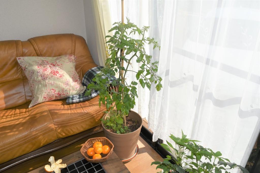 tomato,over the winter_20201105 (3)