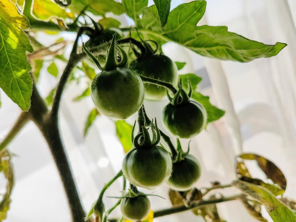 tomato,over the winter_20201123-4