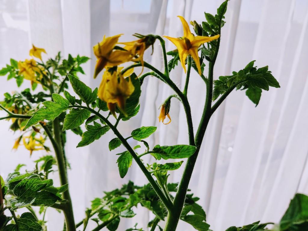 tomato,over the winter_20201123-5