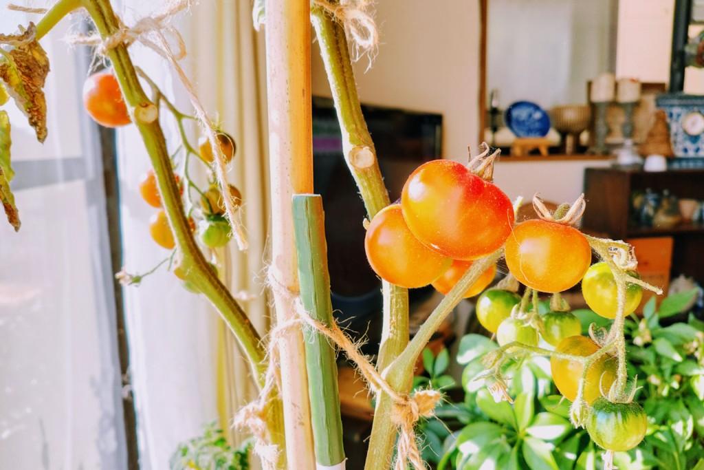 tomato,over the winter_20201222-3