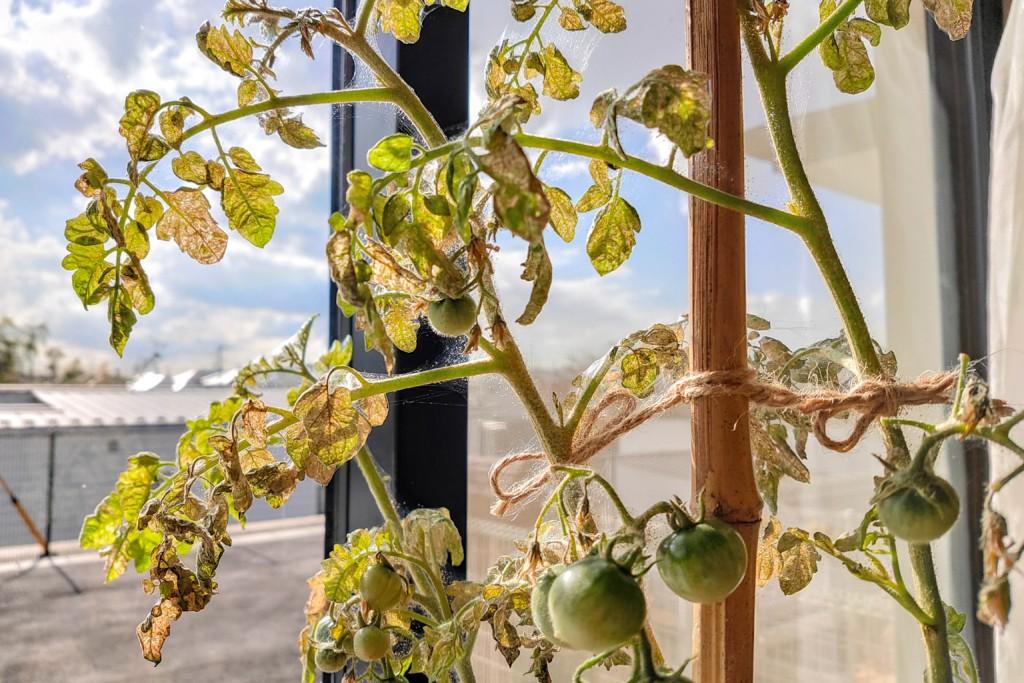 tomato,over the winter_20201222