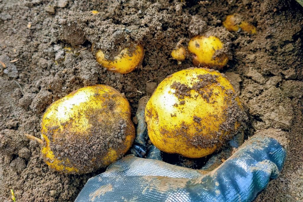 20210528_potato,kitaakari-4