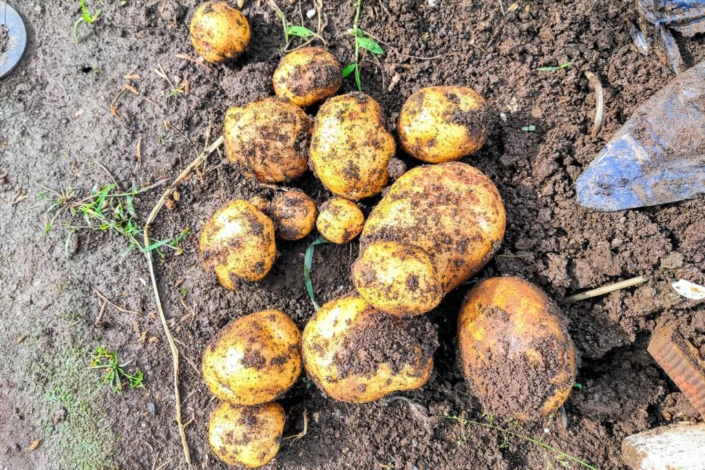 20210528_potato,kitaakari-5,sakasaue