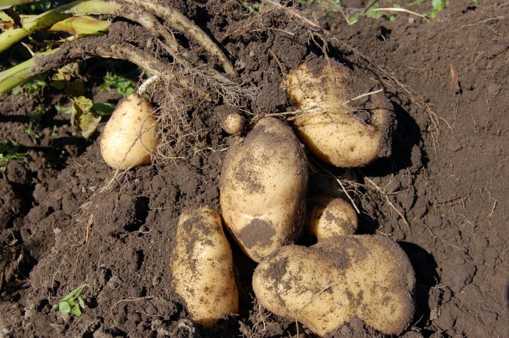 potato-10