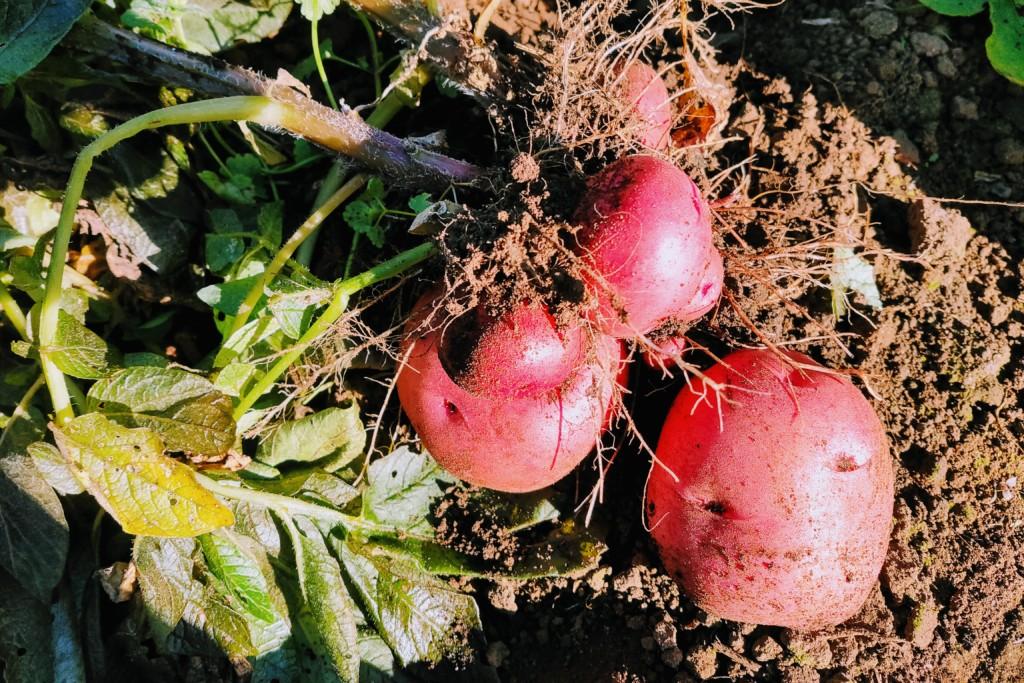 potato,Andes (2)