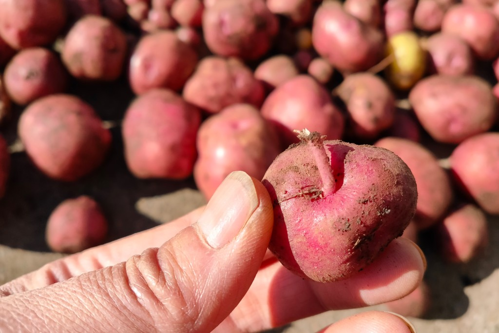 potato,Andes (3)