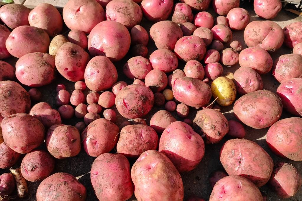 potato,Andes (4)