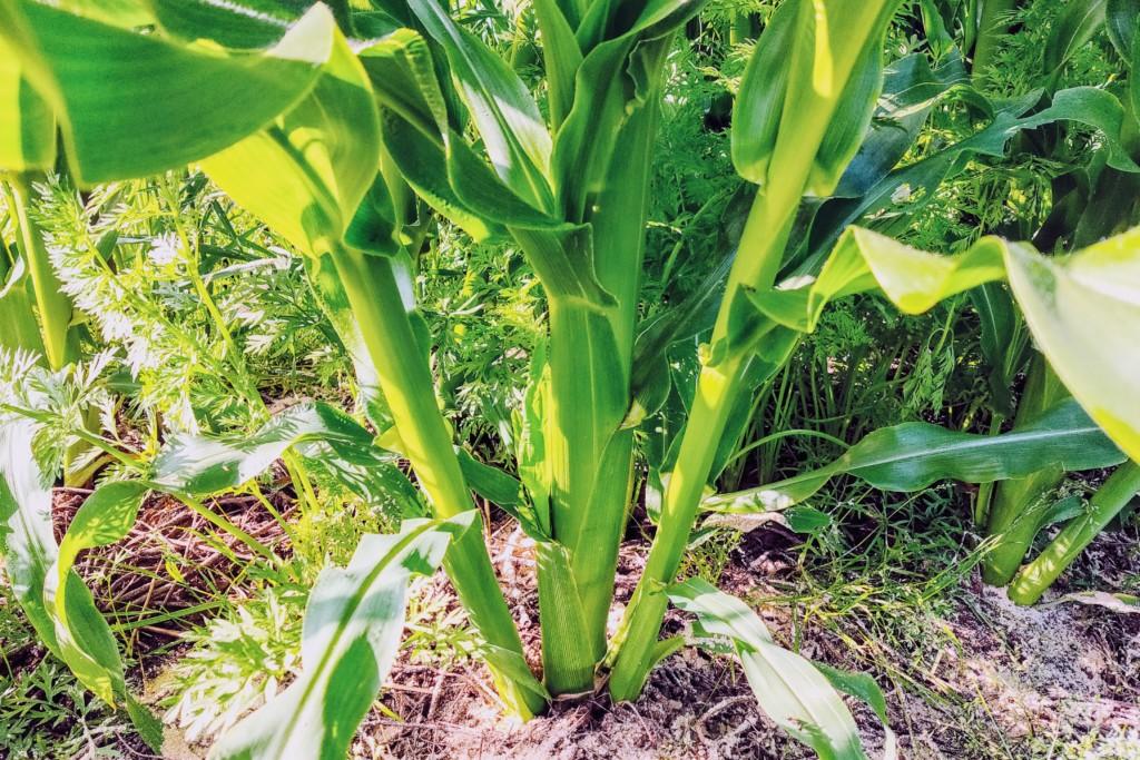 corn-25