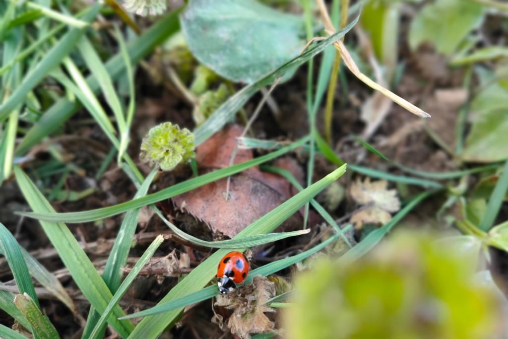 tentomushi,ady beetle,20210325