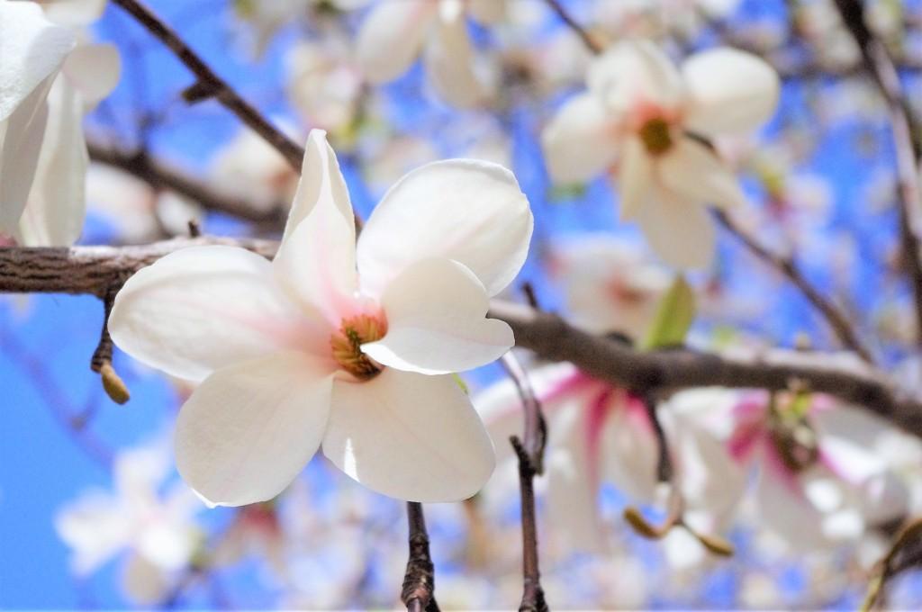 Magnolia kobus,kobushi