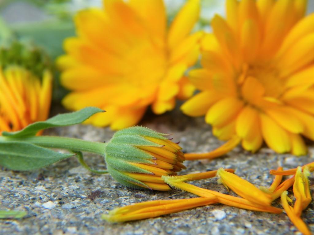marigold-22