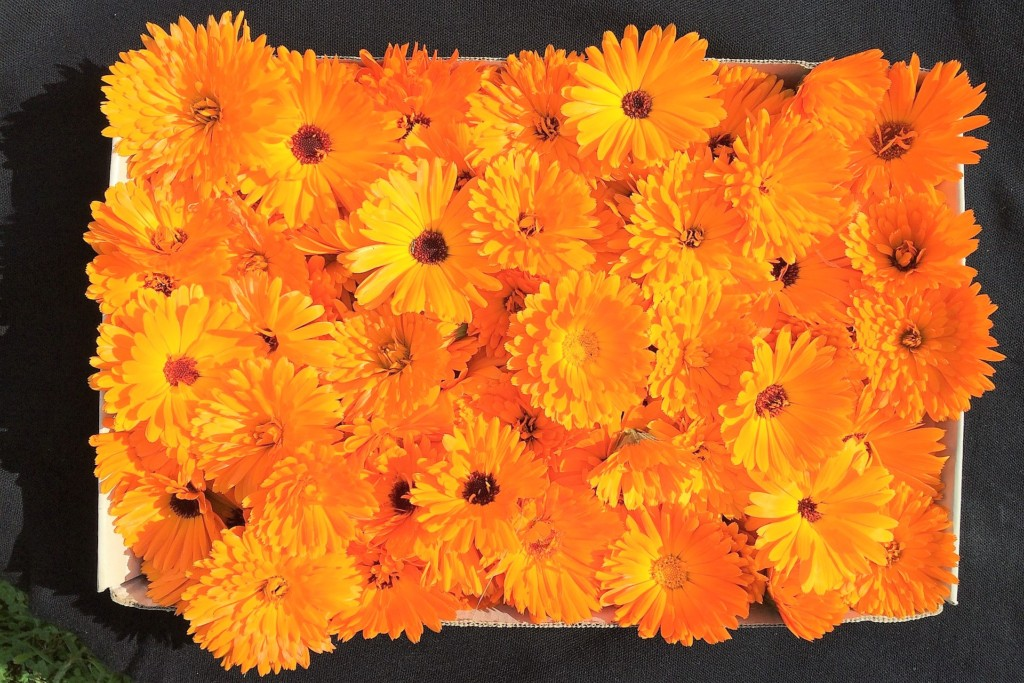 marigold-23