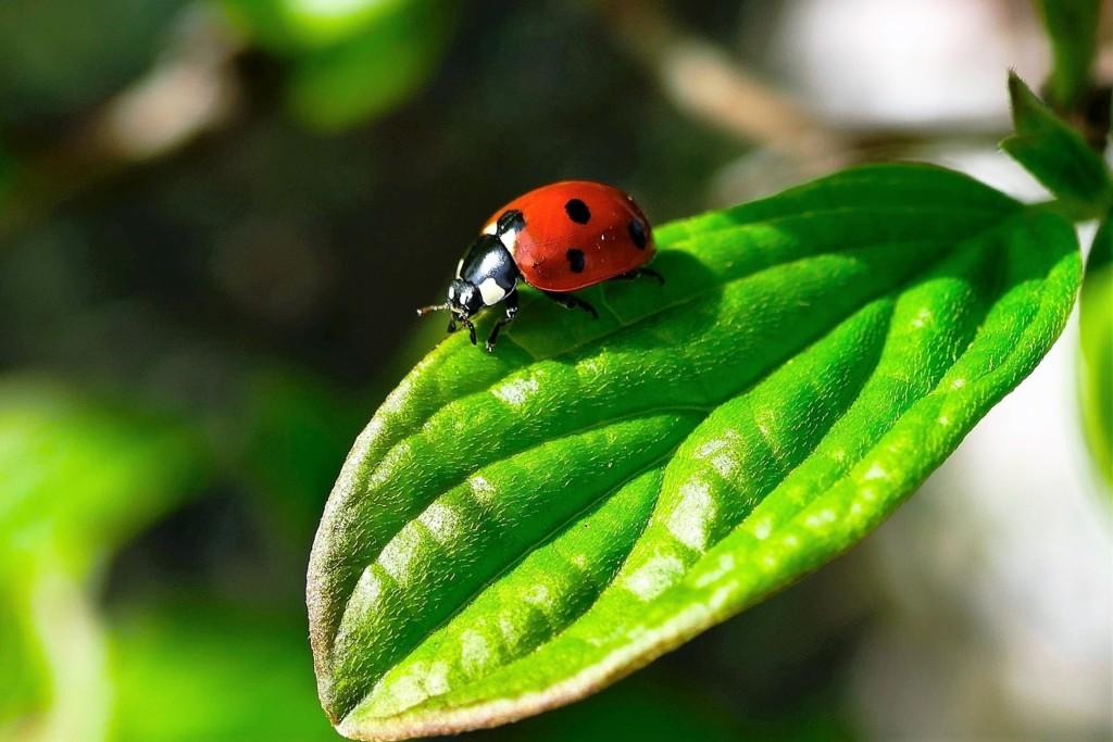 tentomushi,ady beetle-2