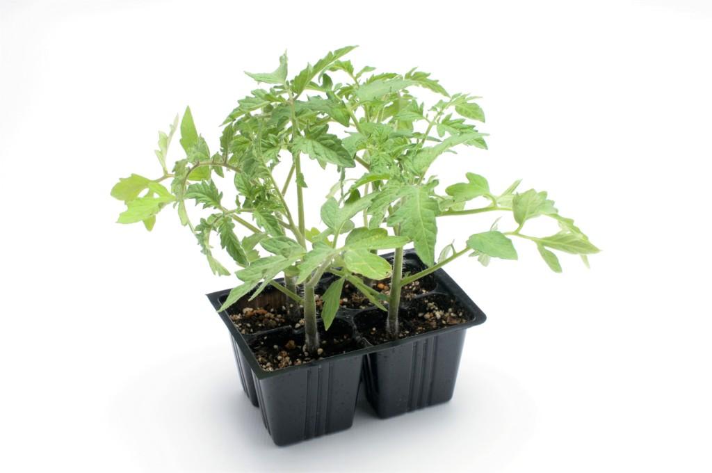 tomato,nekiriue