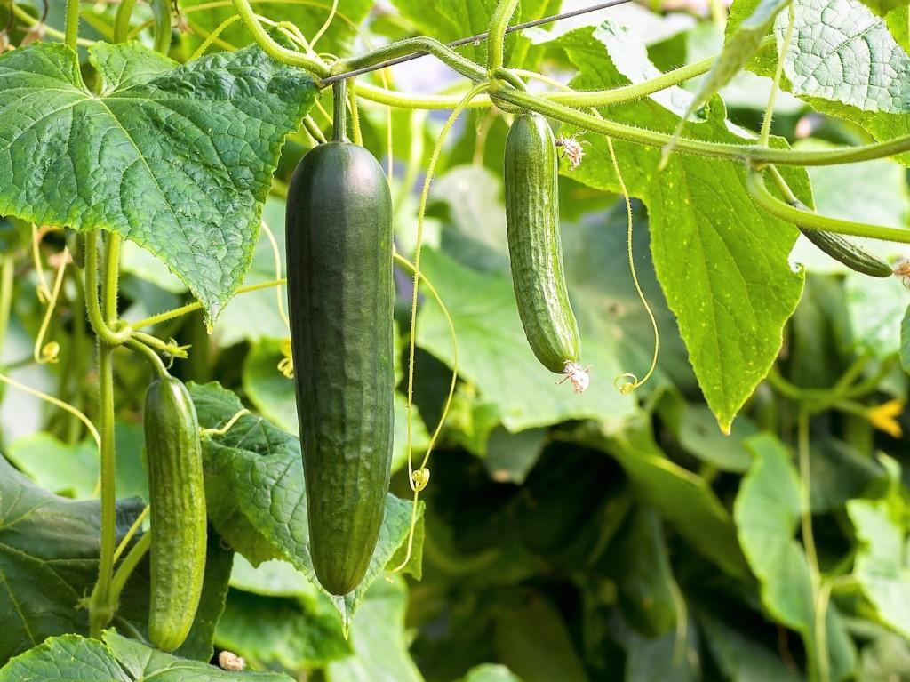 cucumber-2-1