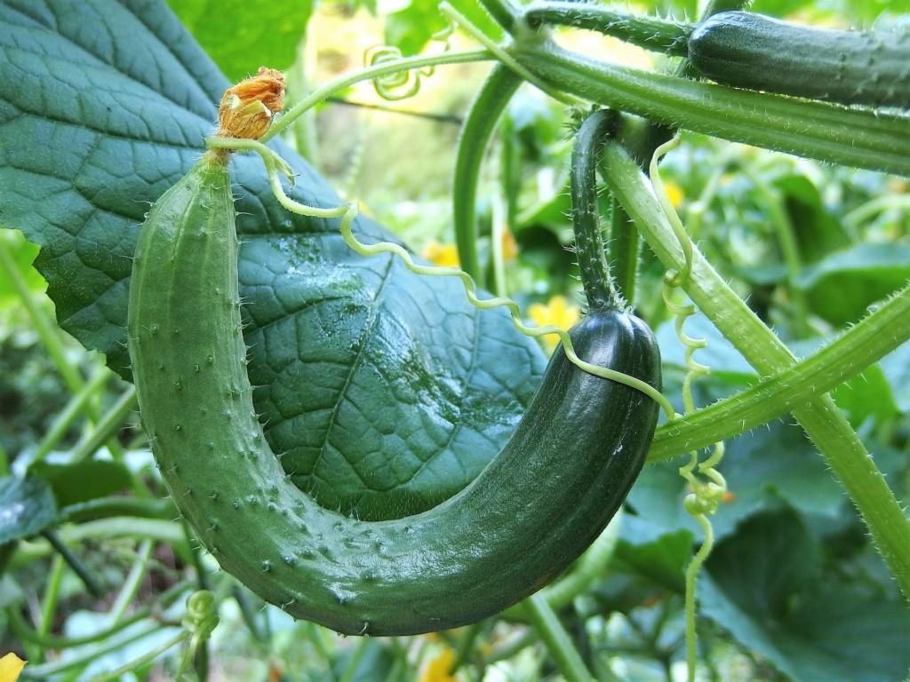 cucumbers-13