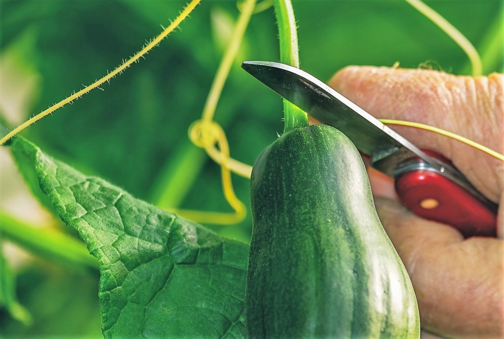 cucumbers-15