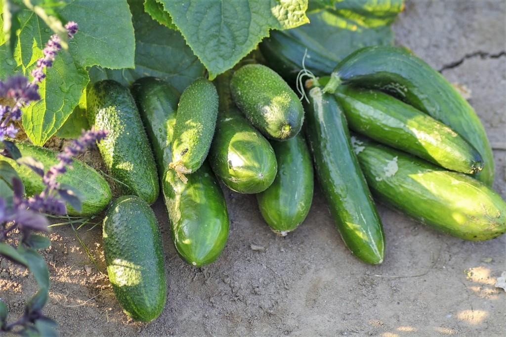 cucumbers-19