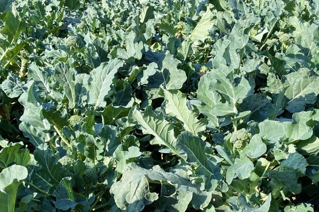broccoli-15 (★)