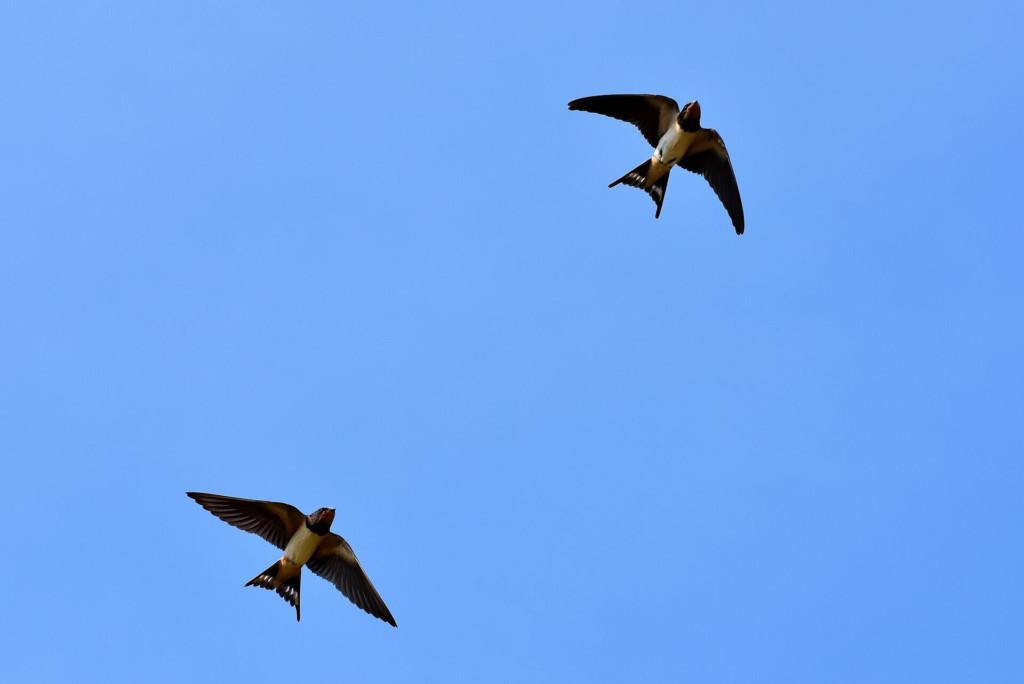swallows (★)