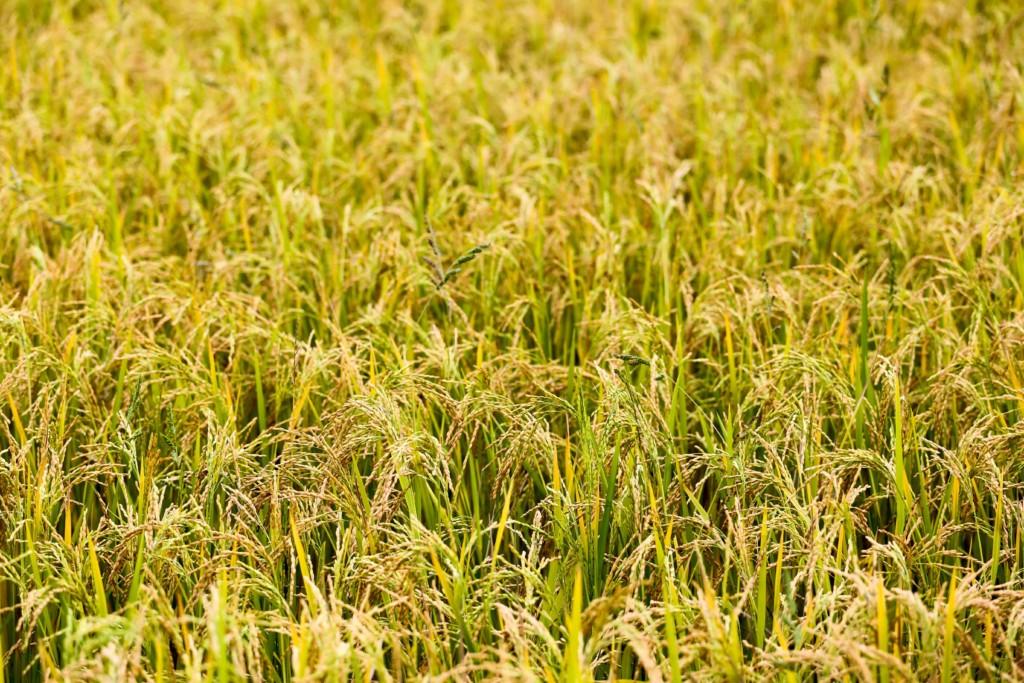rice,ine (★)